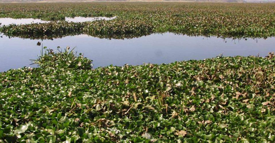 Un joven crea biocombustible a partir de lirio acuático
