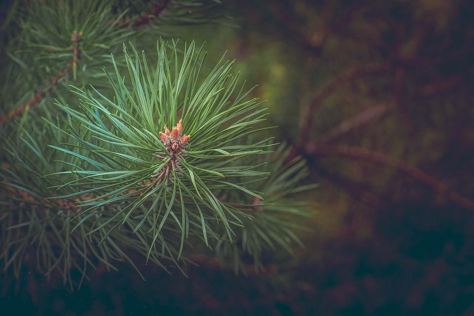 Crean plástico renovable a partir de tallos de pino